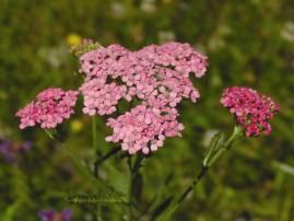 Floral Pink Yarrow 7,5 ml